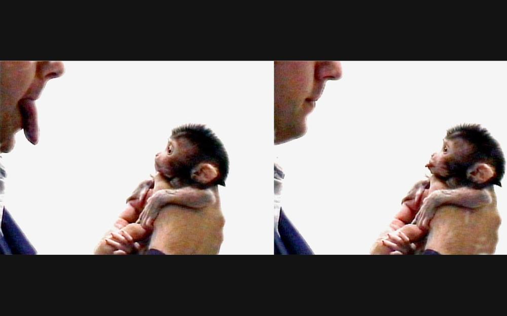 neuroni-specchio-scimmia-imita-linguaccia